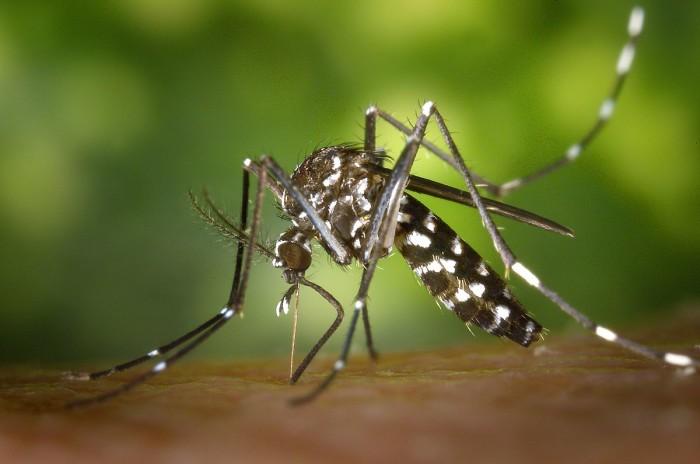 10. Tiger Mosquito