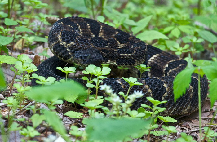 1) And we're finishing off with the Timber Rattlesnake. Because, shock factor!