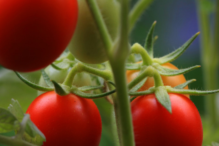 7. Homegrown Tomatoes