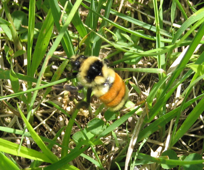 1) Tri-Colored Bumble Bee