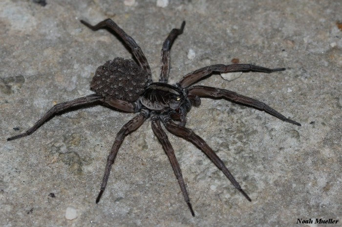 11.) Carolina Wolf Spider