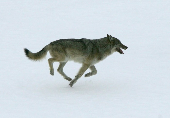 1) Wolves and Moose of Isle Royale