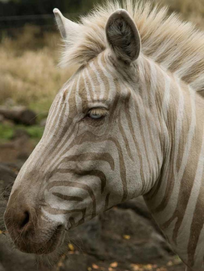 2) Zoe the Golden Zebra, Big Island
