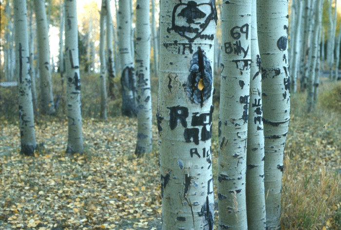 11) Carving Your Initials into the Quaking Aspens in the Uintas