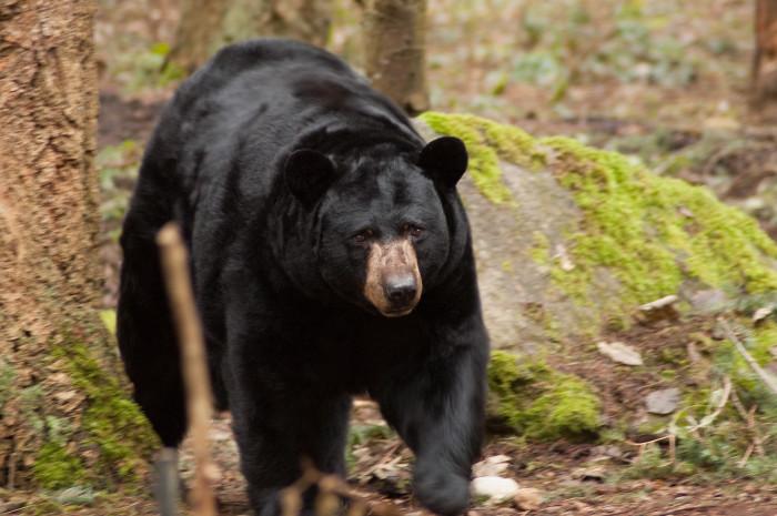 2. Black bears.