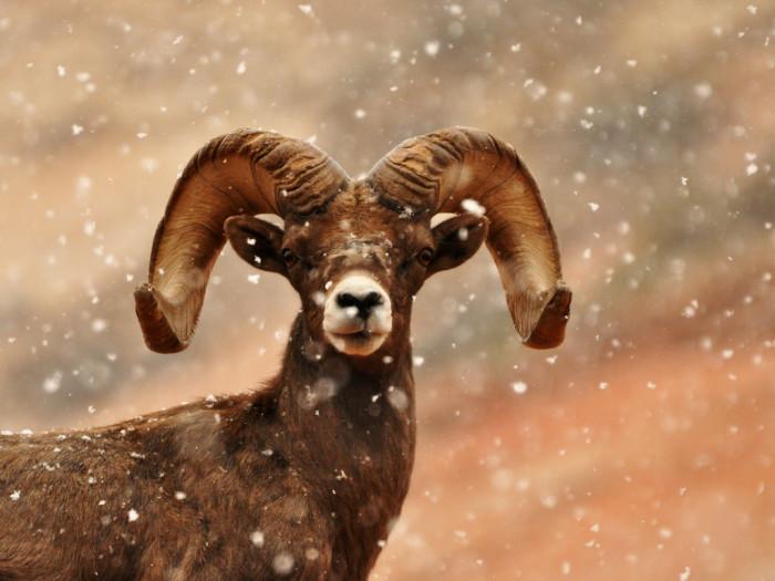 9) Bighorn Sheep