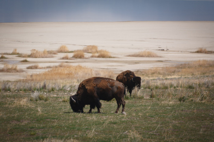 4) American Bison