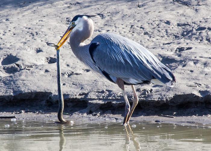 8) Great Blue Heron