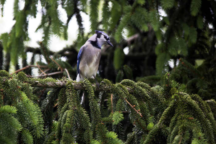 9.This blue jay