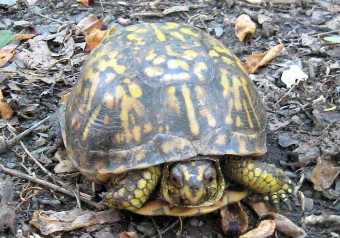 8. This friendly-looking box turtle