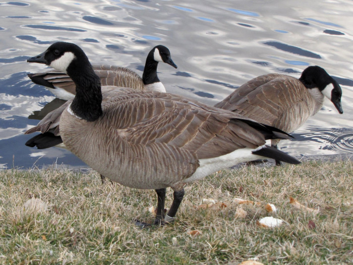 16) Canada Geese