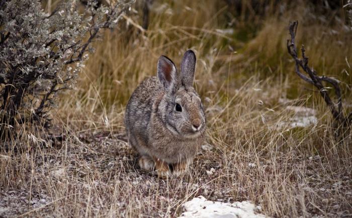 17) Cottontail Rabbit