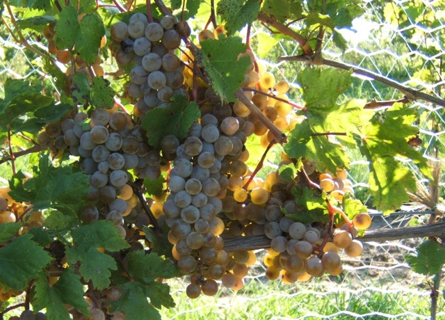 Cuthills Winery, Pierce
