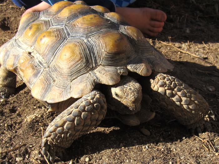 18) Desert Tortoise
