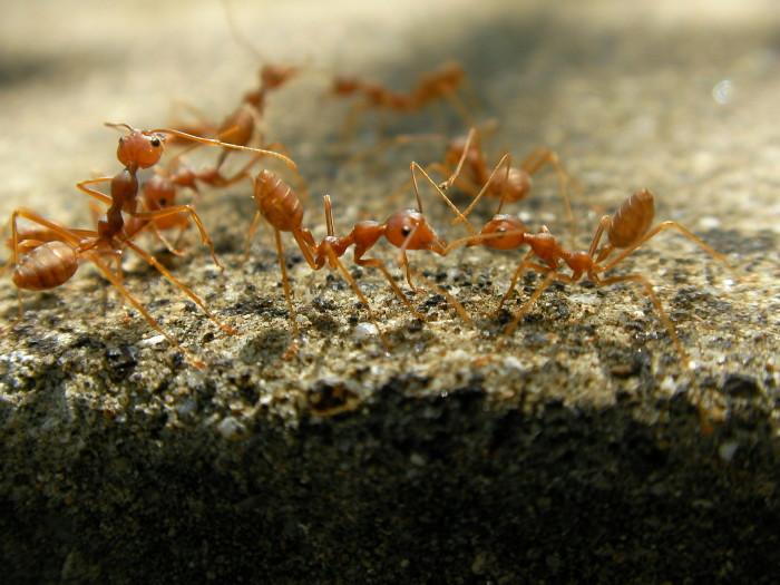 6. Fire Ants