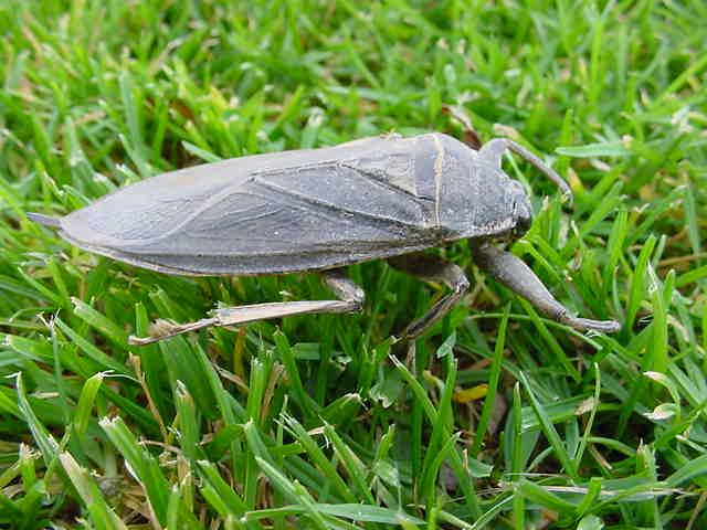 Giant Water Bug