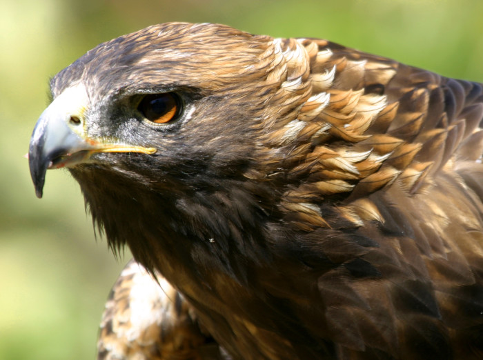 2. This golden eagle