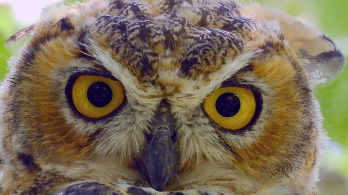 20) Great Horned Owl