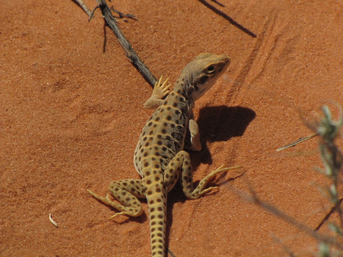 5) Long-Nosed Leopard Lizard
