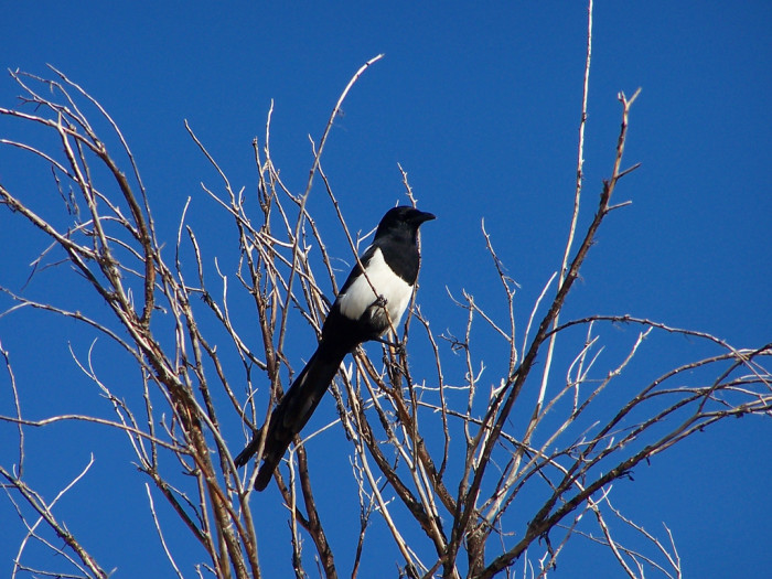 12) Black-Billed Magpie