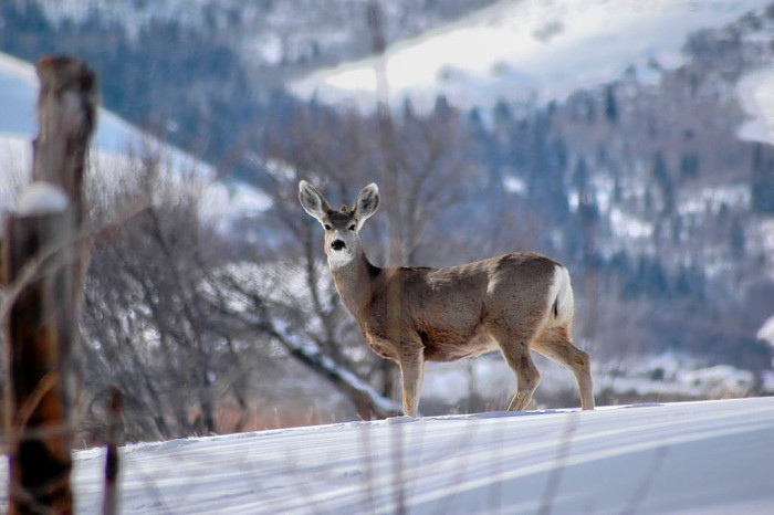 14) Mule Deer