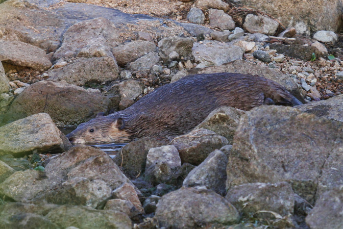 15. This big beaver is making its way through the rocks to deeper water.