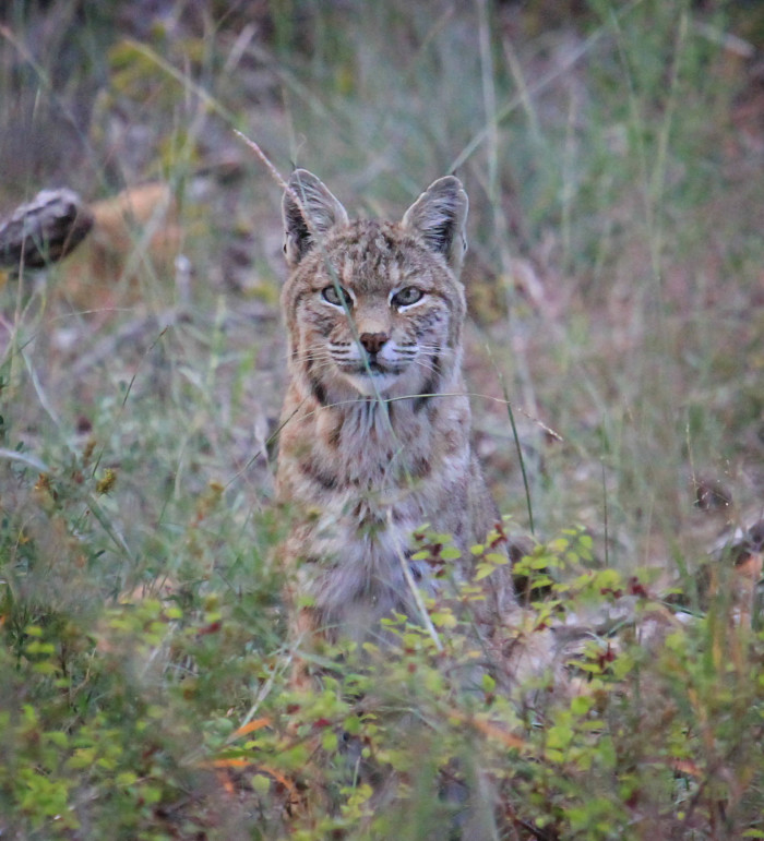 2. Yes, we have bobcats.