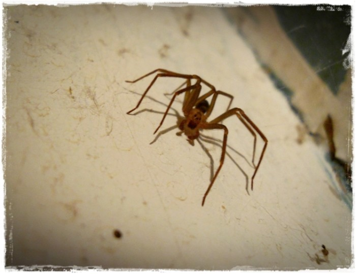 13. The creepy brown recluse spider.
