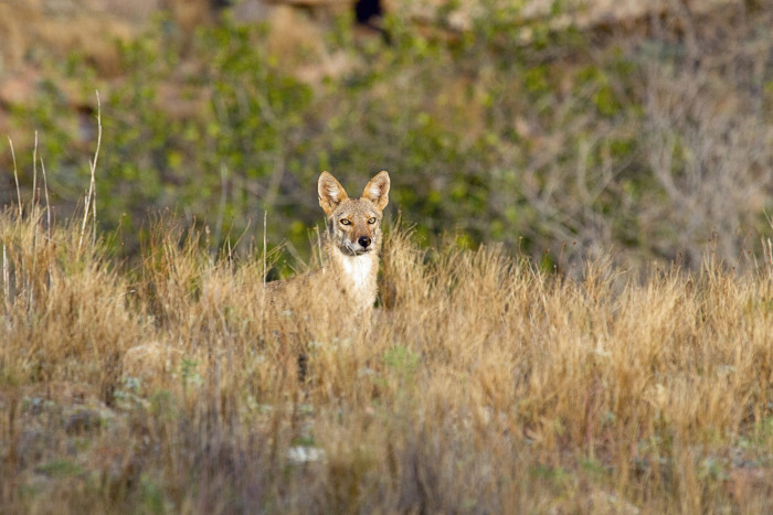 9. Great shot of the coyote in The Wichita Mountains.