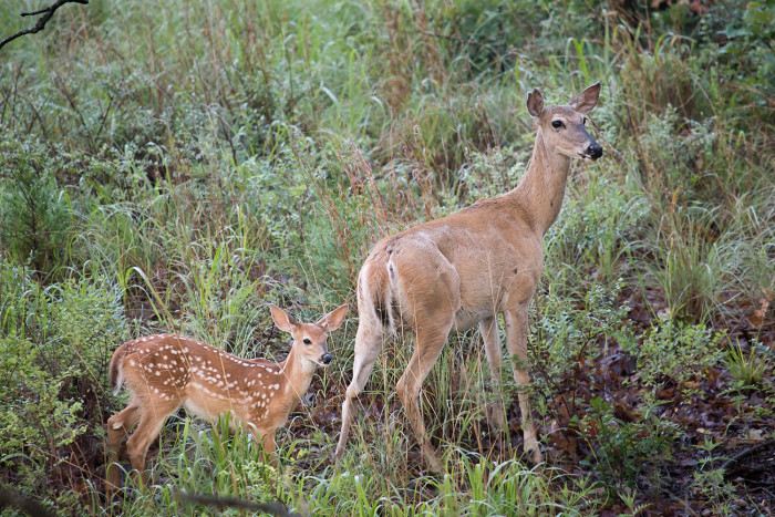 8. The white-tailed doe and fawn enjoying nature.