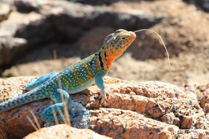 6. The colors on this collared lizard are amazing.