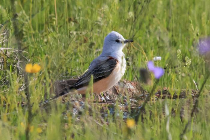 10. The state bird, the scissor-tailed flycatcher, is so elegant.