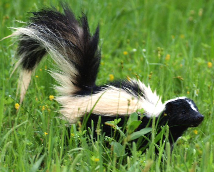 5. If the tail is up on the skunk...that is your first alert to run.