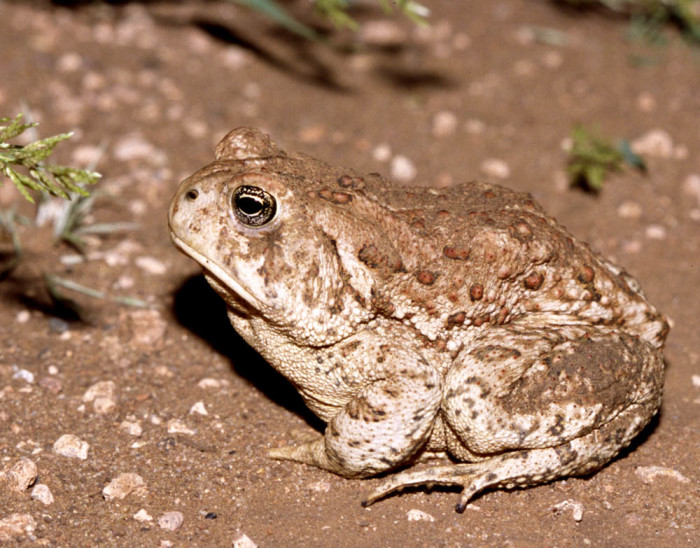 17. The robust Woodhouse toad in southwest Oklahoma.