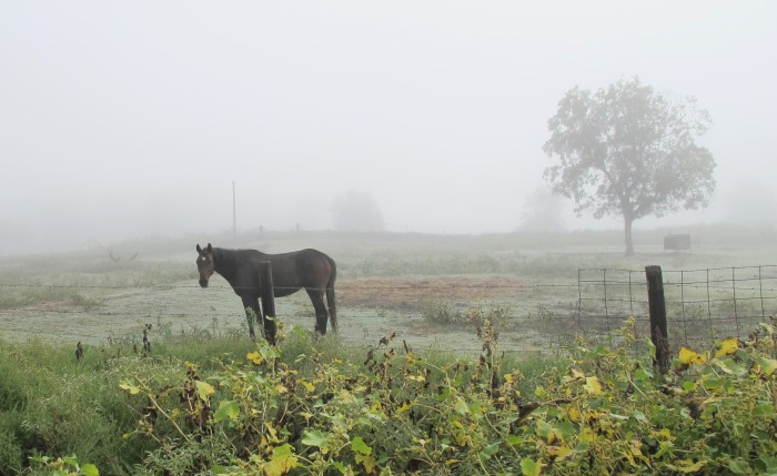 "5. Just ""horsing around"" this foggy morning  on the farm."