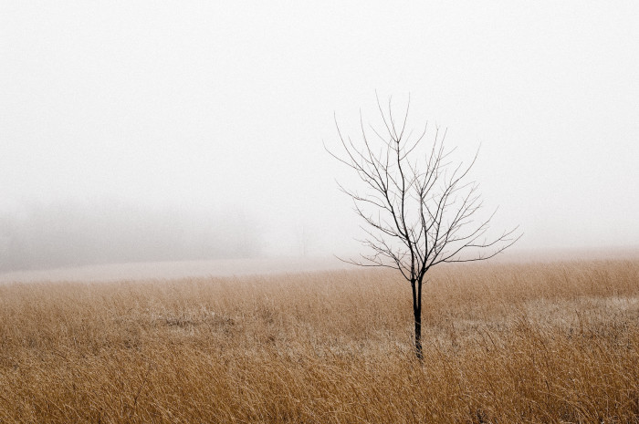 3. A lonely tree sits in this misty wheat field.