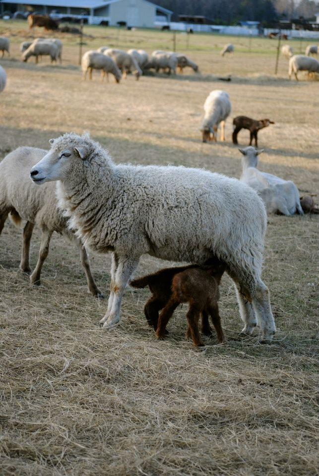 An ewe feeding her lambs.