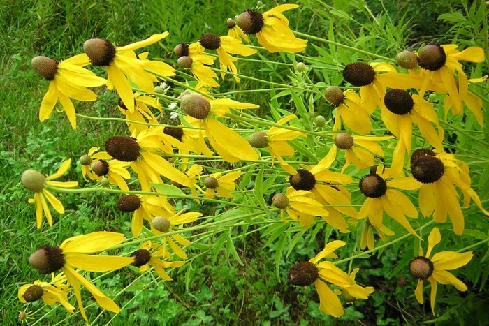 8. Fields of black-eyed susans are delightful.
