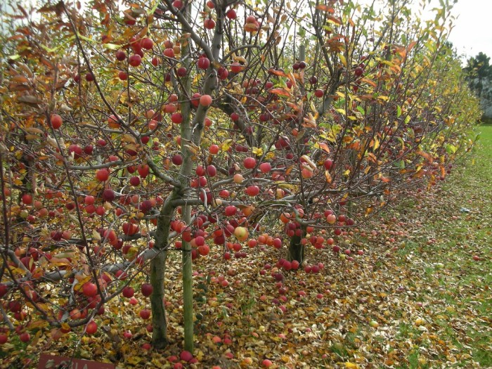 12. If all else fails, go apple picking!