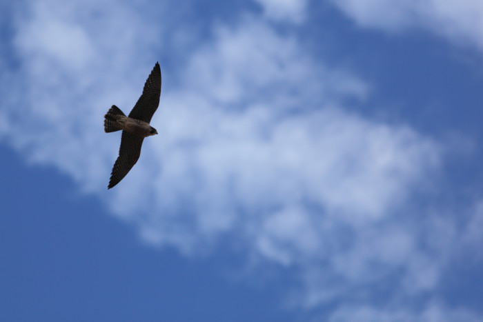 4) Peregrine falcons were once nearly extinct. You can see them from your lofty perch at the Angel's Landing summit.