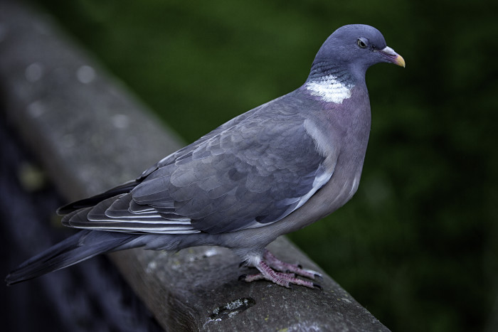 5. It is illegal to delay or detain a homing pigeon.