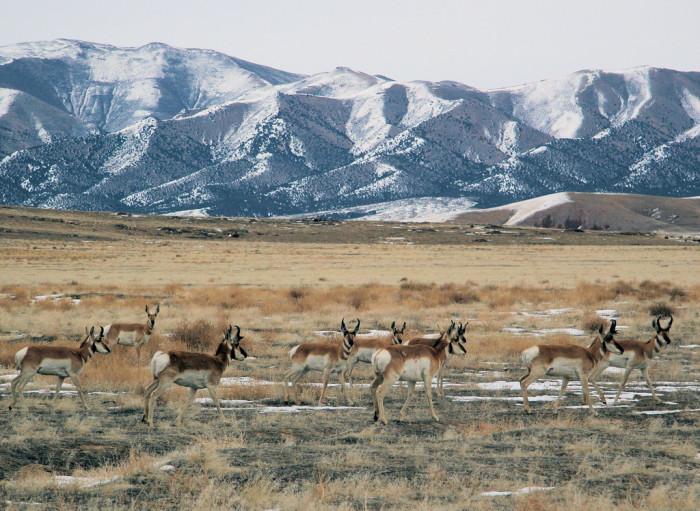 24) Pronghorn Antelope