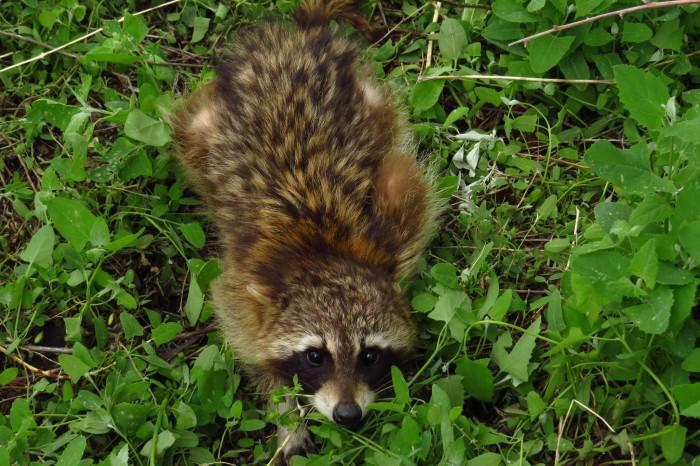 7) Raccoon