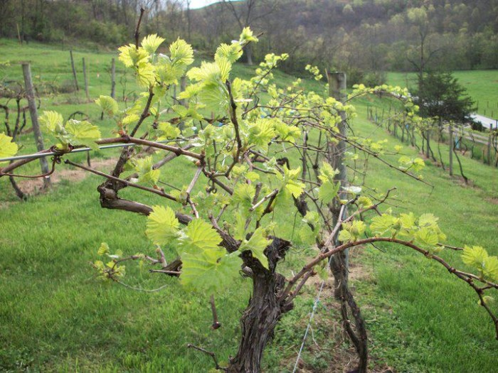 5. Roane Vineyards
