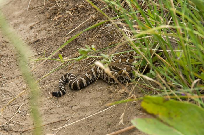 5. Western rattlesnakes.