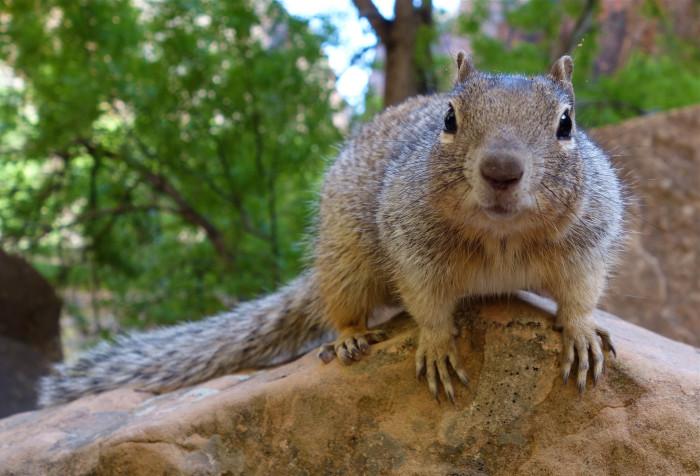 27) Rock Squirrel