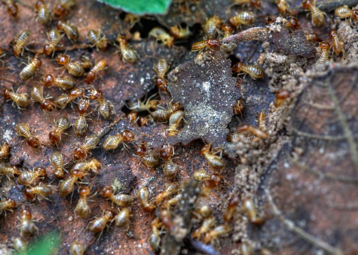 8. Termites