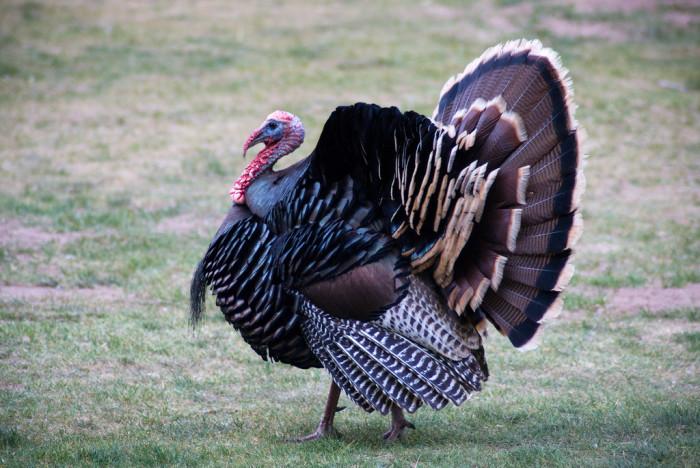 28) Wild Turkey