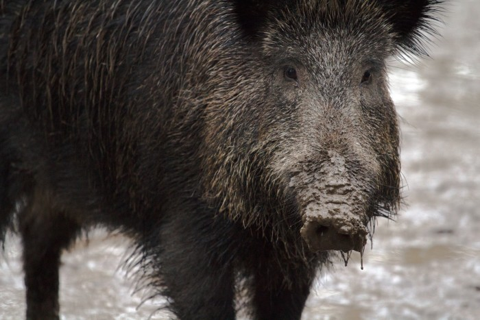 9. The Agriculture Commissioner is required by law to personally capture or destroy any wild boar that gets loose in Minneapolis or St. Paul.