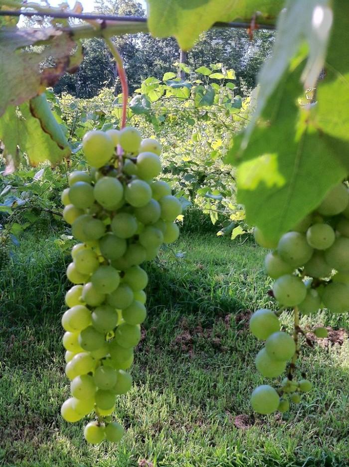 winetree grapes